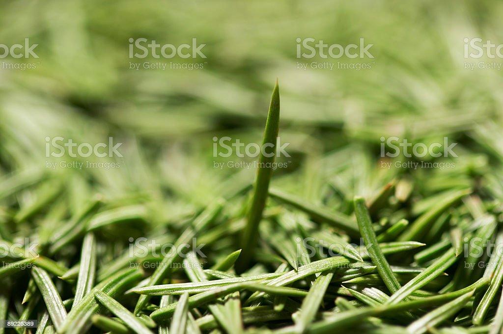fir needle #2 stock photo