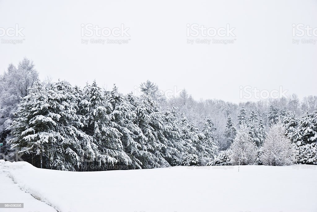 fir pine, snow storm trees, sapins neige royalty-free stock photo