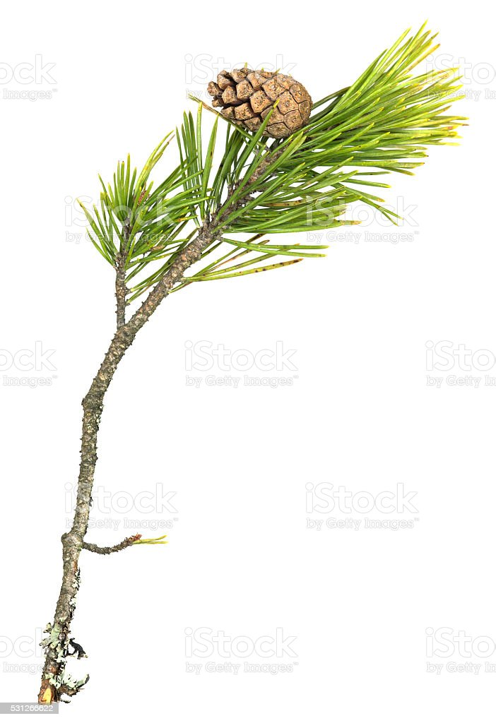 Fir, Pinus sylvestris twig with cone isolated on white background stock photo