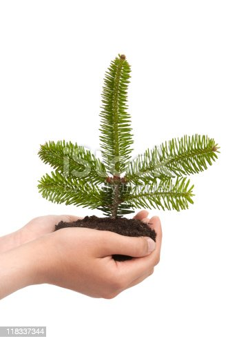 Fir seedling on hands