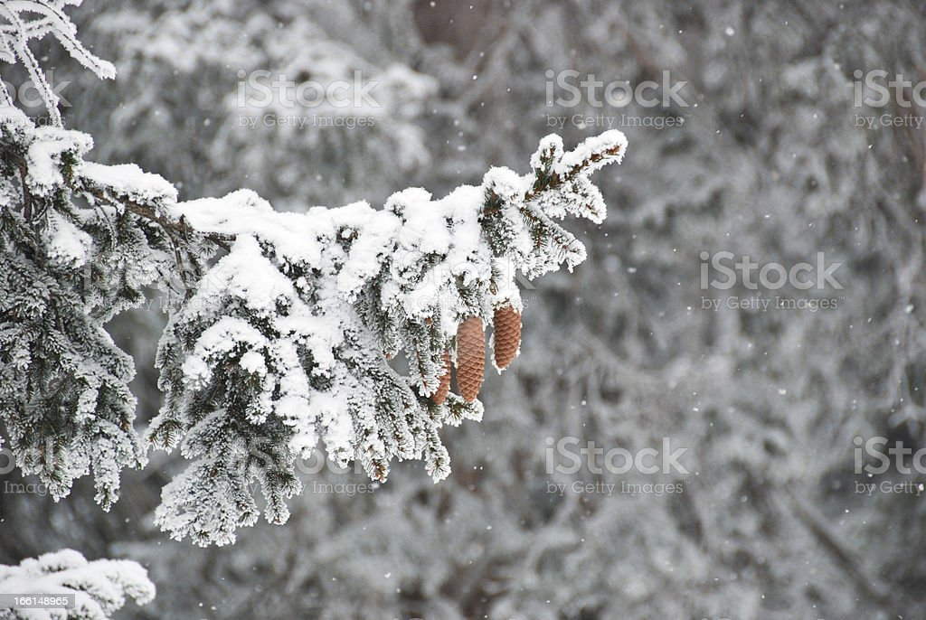 Fir tree at winter time royalty-free stock photo