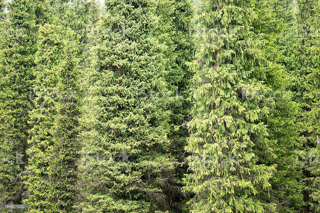 Fir tree background royalty-free stock photo