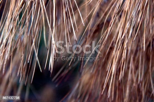 istock Fir tree background 867432738