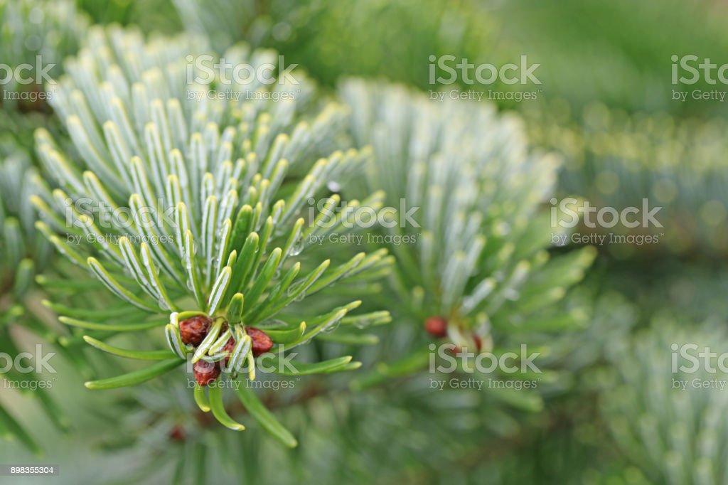 Tannenarten Weihnachtsbaum.Tannenarten Hintergrund Stockfoto Und Mehr Bilder Von Baum Istock