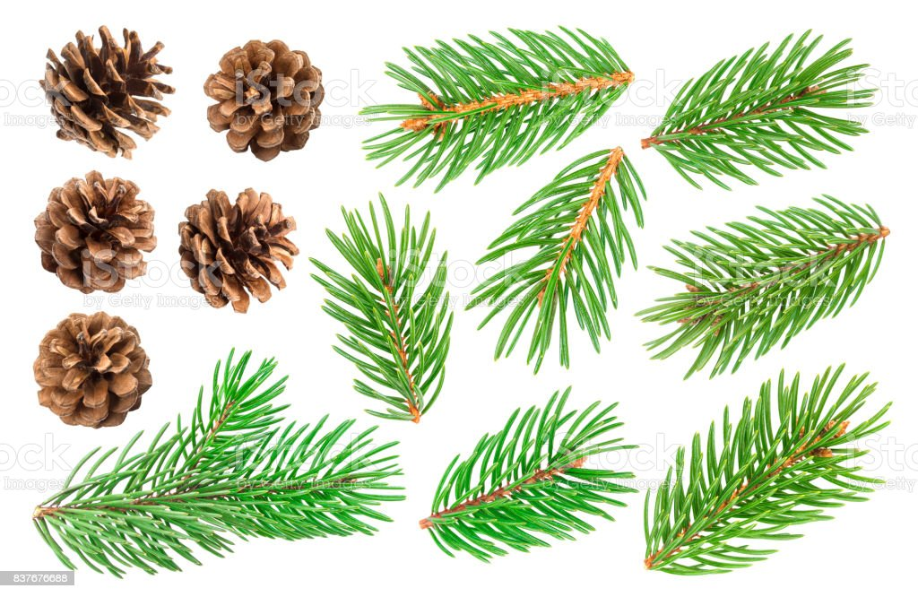 Fir tree branch and pine cones isolated on white background stock photo