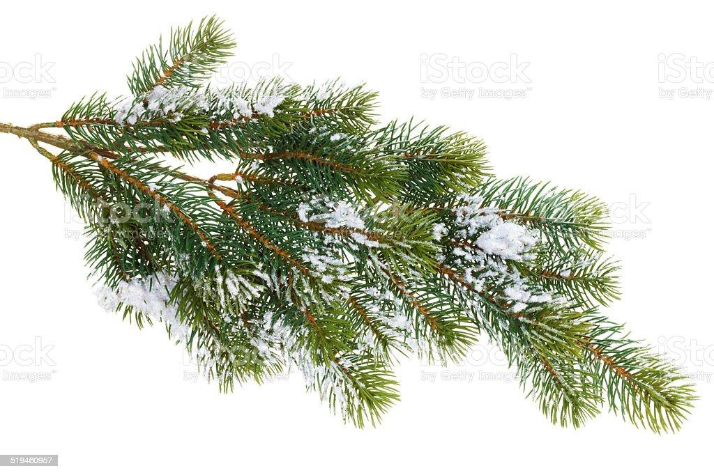 Branche de sapin recouverte de neige - Photo