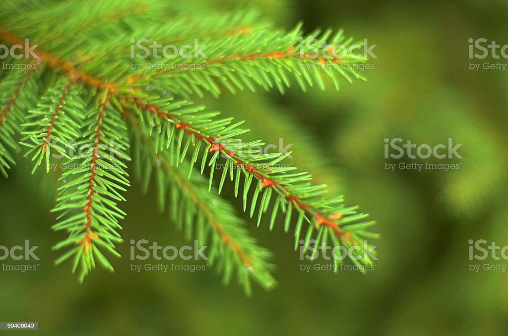 Fir Tree Branch royalty-free stock photo