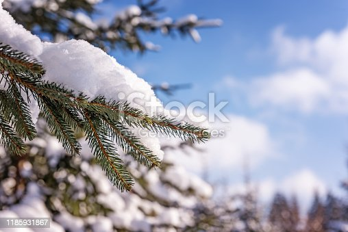 Natural live bluish green fir tree branches covered by white fresh snow. Unfocused blue sky with soft white clouds and evergreen forest at background. Winter seasonal greeting card with copy space.