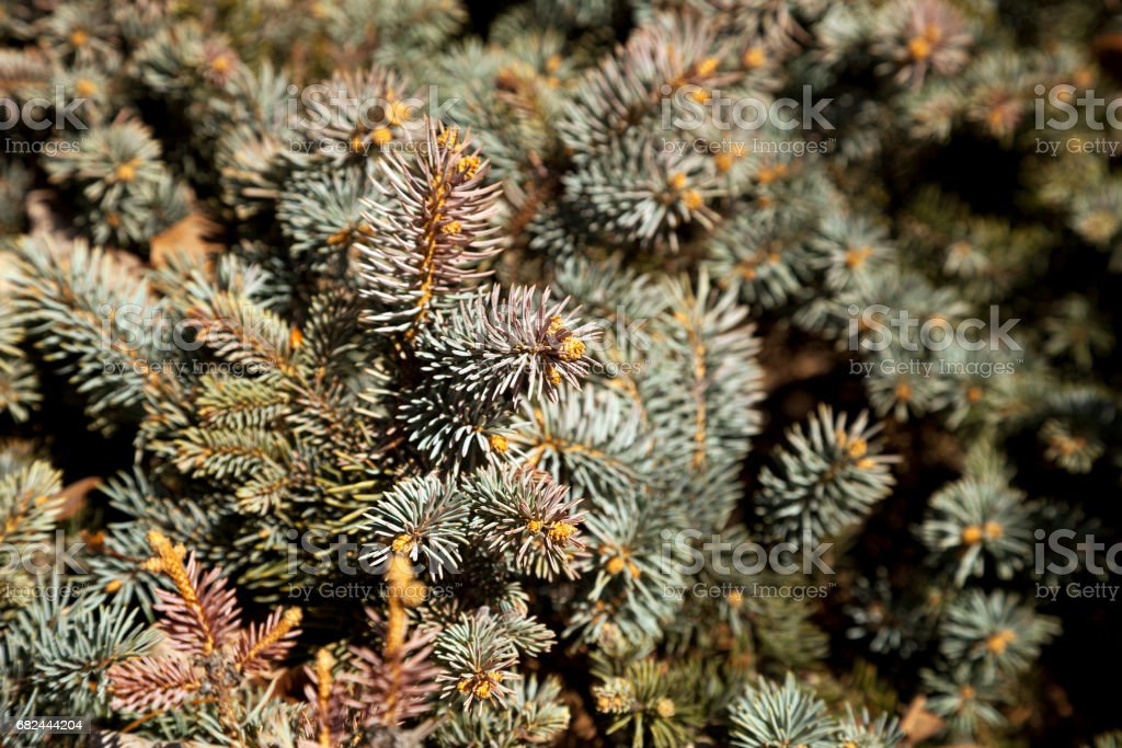 Fir tree branches in the daylight blurry background royalty-free stock photo