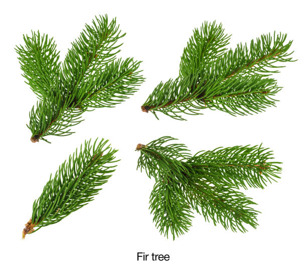 fir tree branches isolated on white without shadow set - ramo parte della pianta foto e immagini stock
