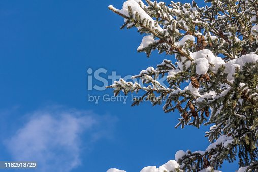 Natural green fir tree branches with cones covered by white fresh snow. Blue sky with single cloud at background. Sunny weather. Winter season horizontal greeting card background with large copy space
