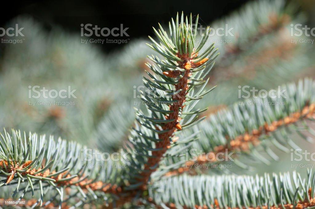 Fir tree brunch close up. Shallow focus. Fluffy fir tree brunch close...