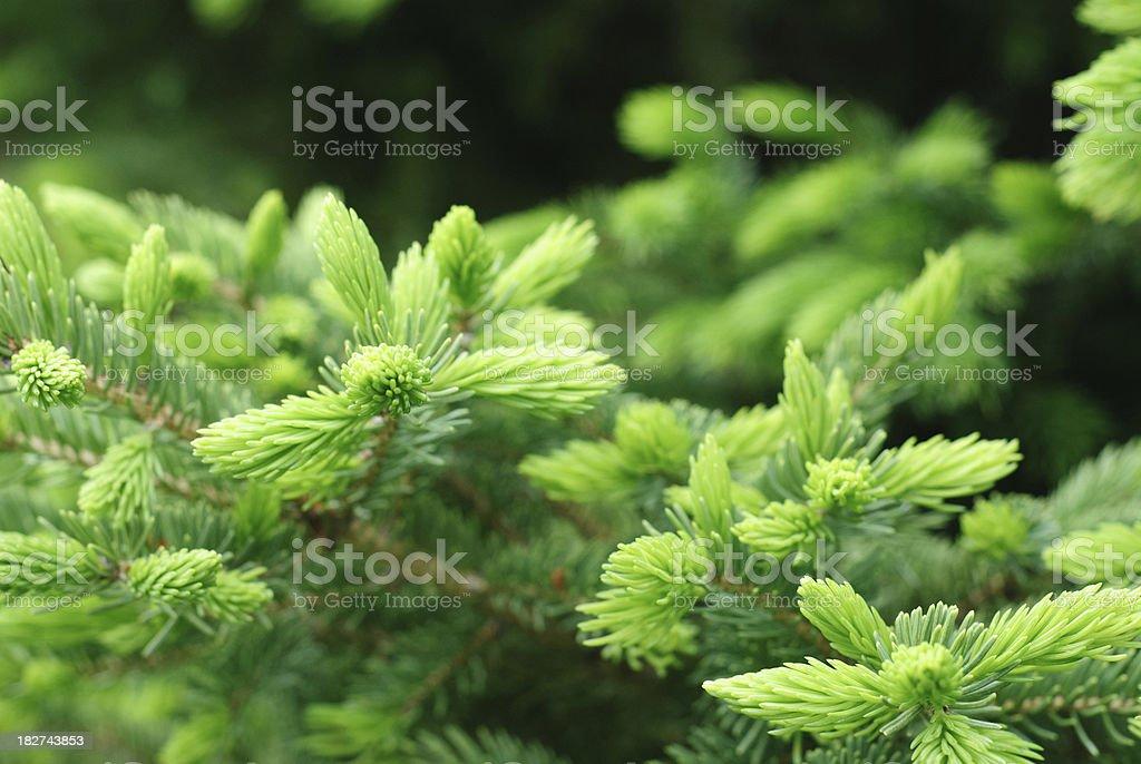 Fir tree buds royalty-free stock photo