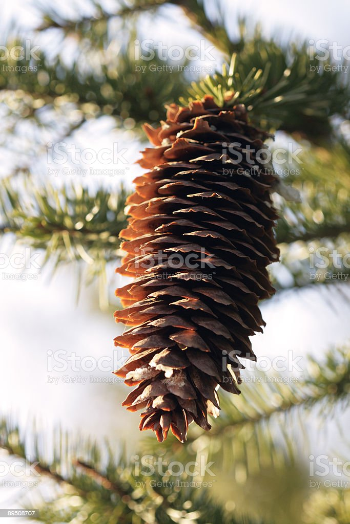 Fir tree cone royalty-free stock photo
