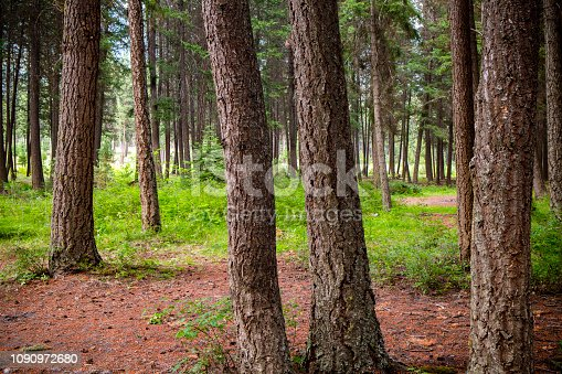 Scenic landscape of tree trunks of fir trees in a temperate rainforest near Lillooet, British Columbia, Canada.