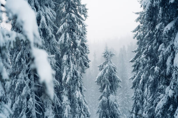 Fir tree in a forest under snowfall stock photo