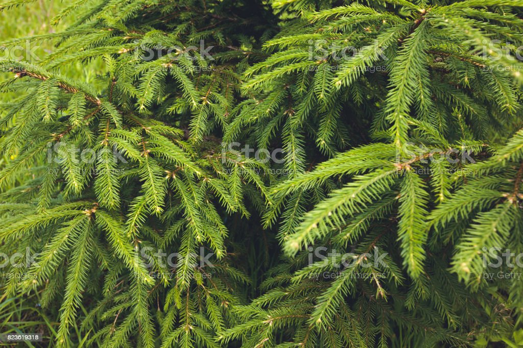 Árbol de abeto. Fondo de naturaleza - foto de stock