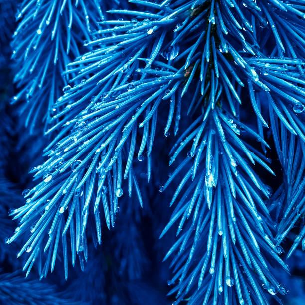 Tannenbaum Marine blau Textur. Fichtenzweige mit Tautropfen. Nadelbaum. Klassische blaue Floral Hintergrund – Foto