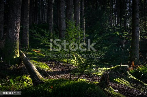 Fir tree sapling (young tree) taking root in the forest floor, among moss and debris of surrounding trees.  Bergen, Norway.