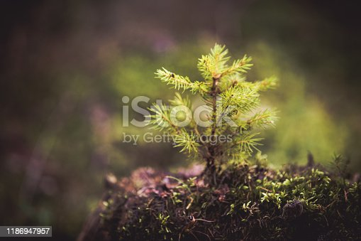 Fir tree sprout. New life concept