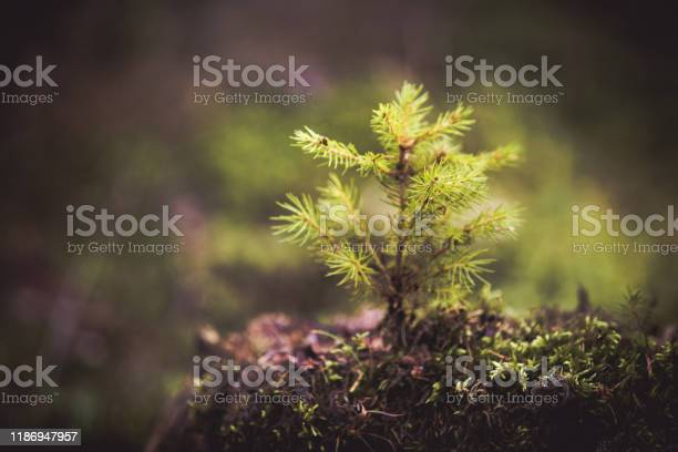 Photo of Fir tree sprout. New life concept