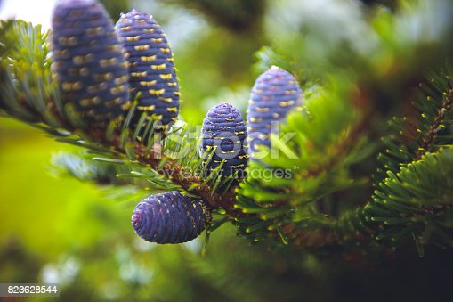 Fir tree with blue cones