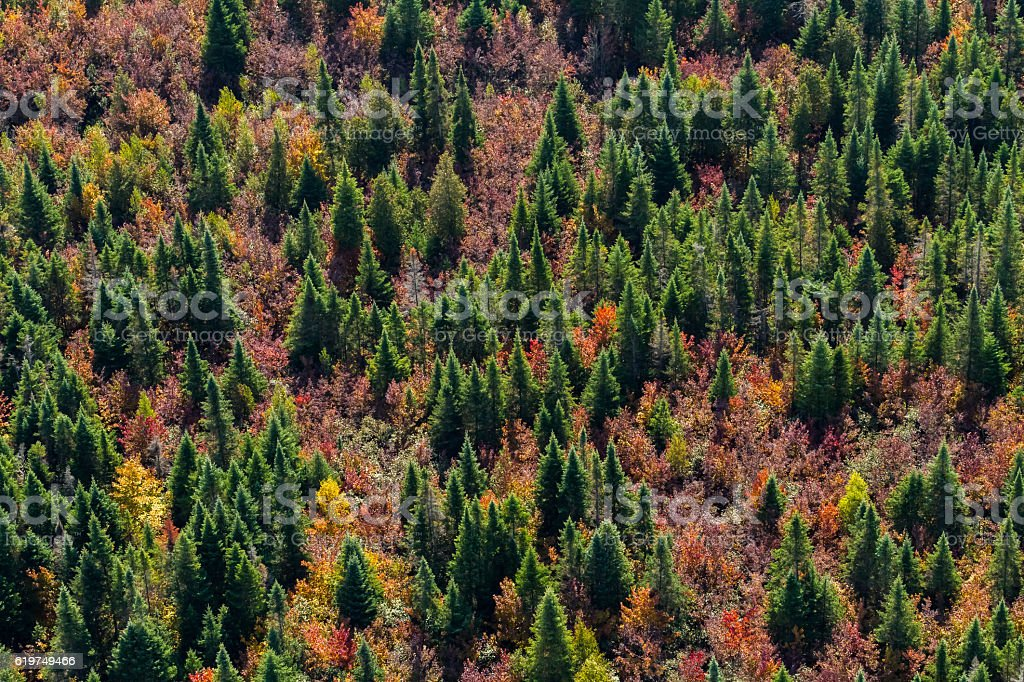 Fir trees from above stock photo