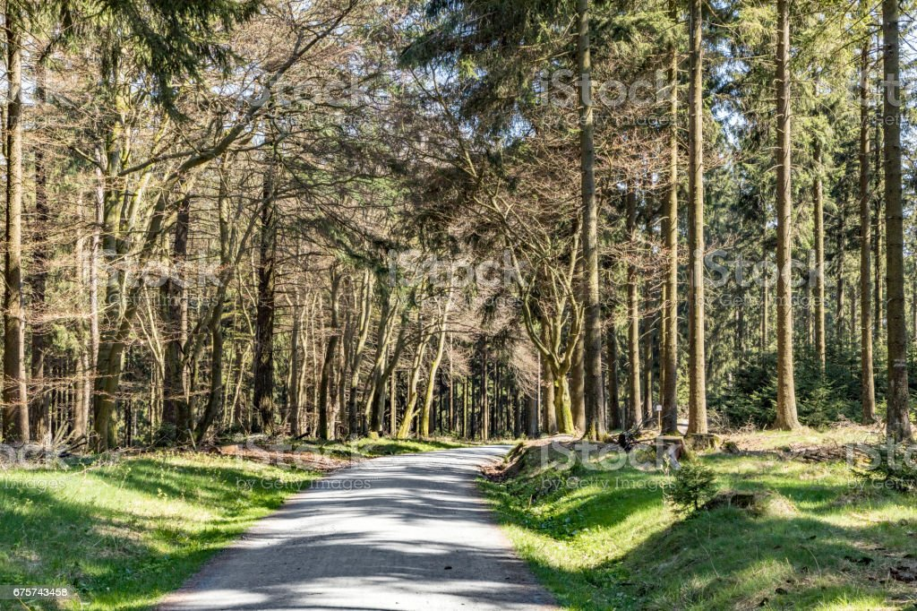 fir trees in afternoon light in the forest stock photo