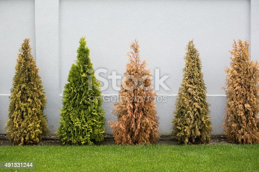Fir trees in many colors