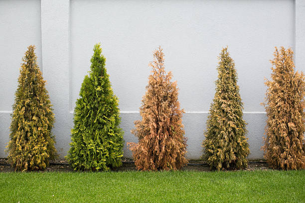 fir trees in many colors - dead plant stock photos and pictures