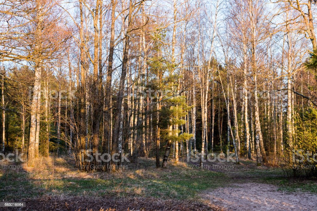 fir trees on a meadow down the will to coniferous forest in foggy forest royalty-free 스톡 사진