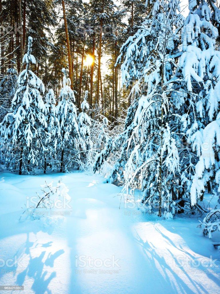 Jodły pod śniegiem, z powrotem oświetlone - Zbiór zdjęć royalty-free (Bez ludzi)