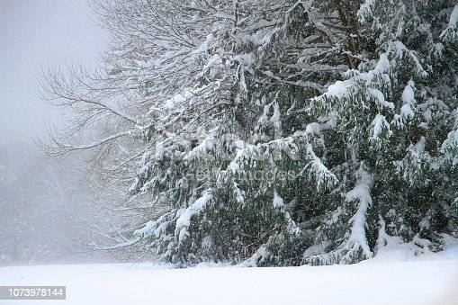 Winter storm depositis heavy snow on the branches of green fir trees.