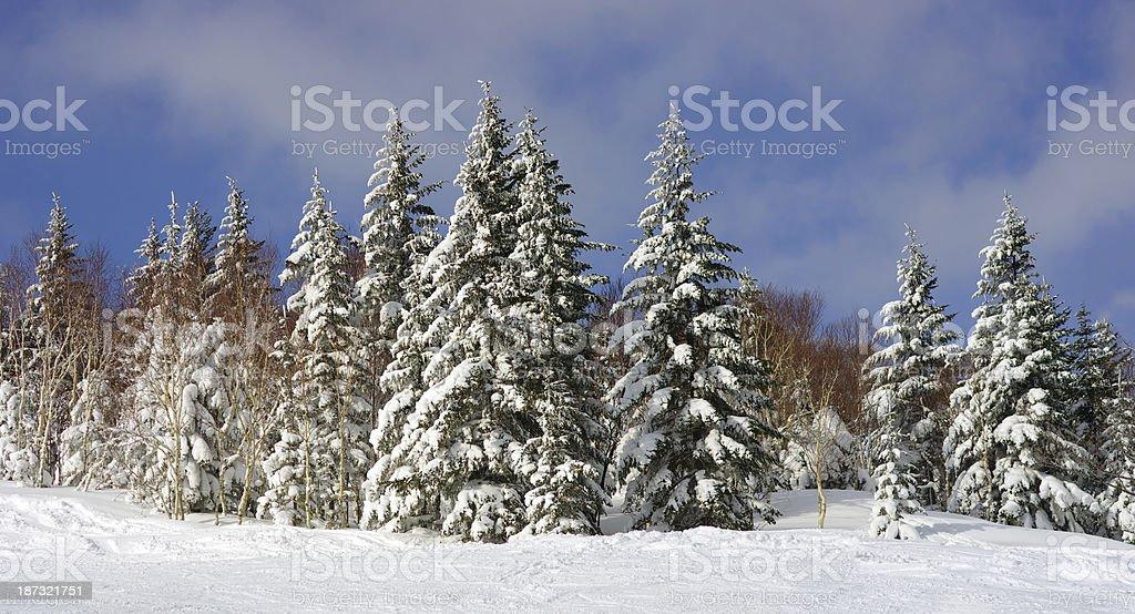 Fir trees winter royalty-free stock photo