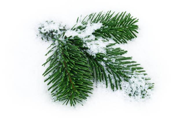 Fir Twig On Snow stock photo