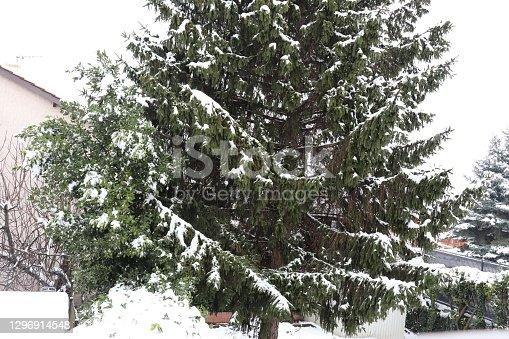 istock Fir under the snow 1296914548