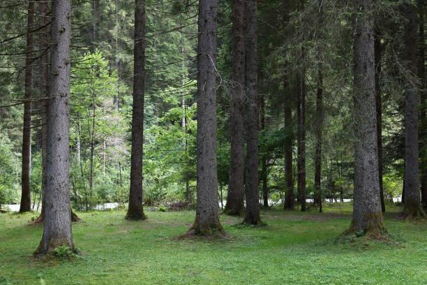 fir, undergrowth, sottobosco, abeti - gigifoto foto e immagini stock