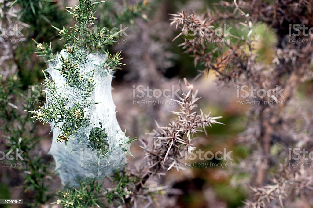 Fir with spider-web trap! royalty-free stock photo