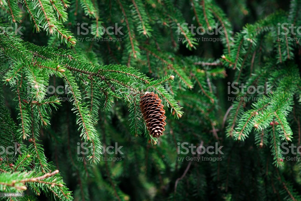 fir-cone in the forest stock photo