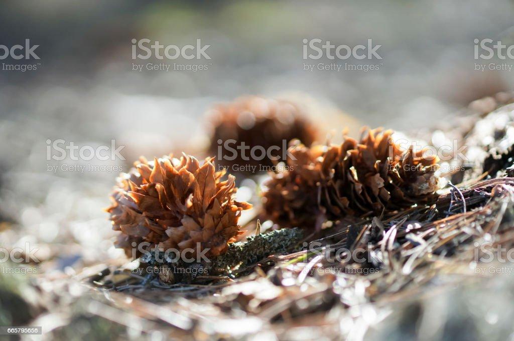 fir-cone in the sun closeup stock photo
