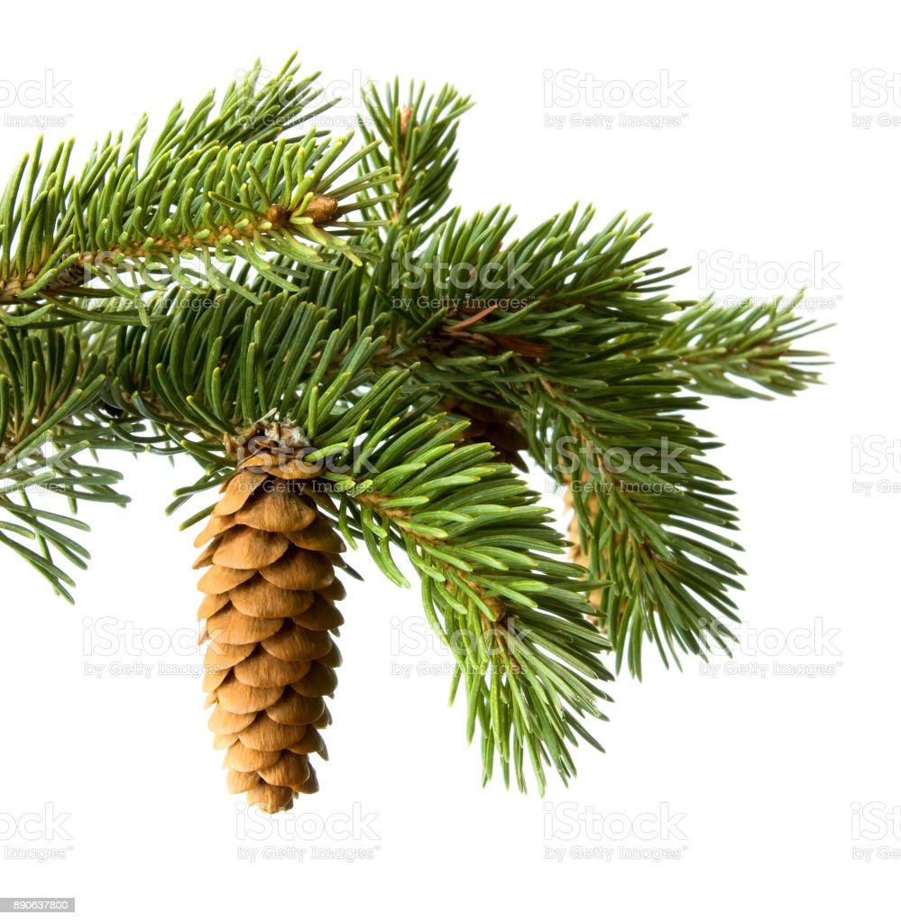 Fir-cone on a branch stock photo