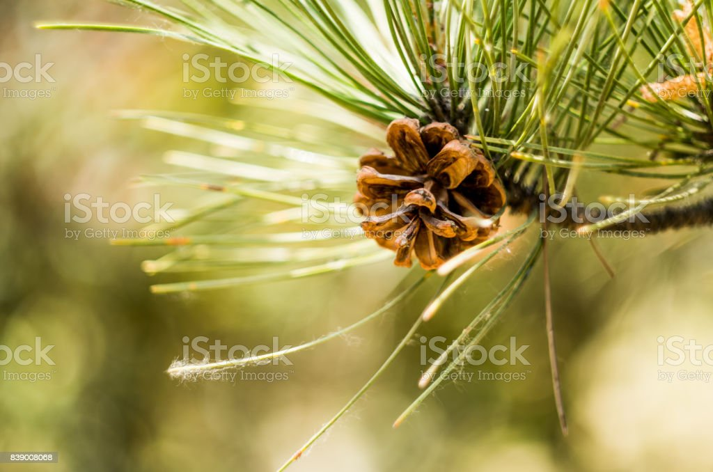 fir-cone on a pine tree stock photo