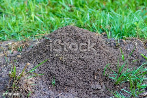 Fire ant hill in grass