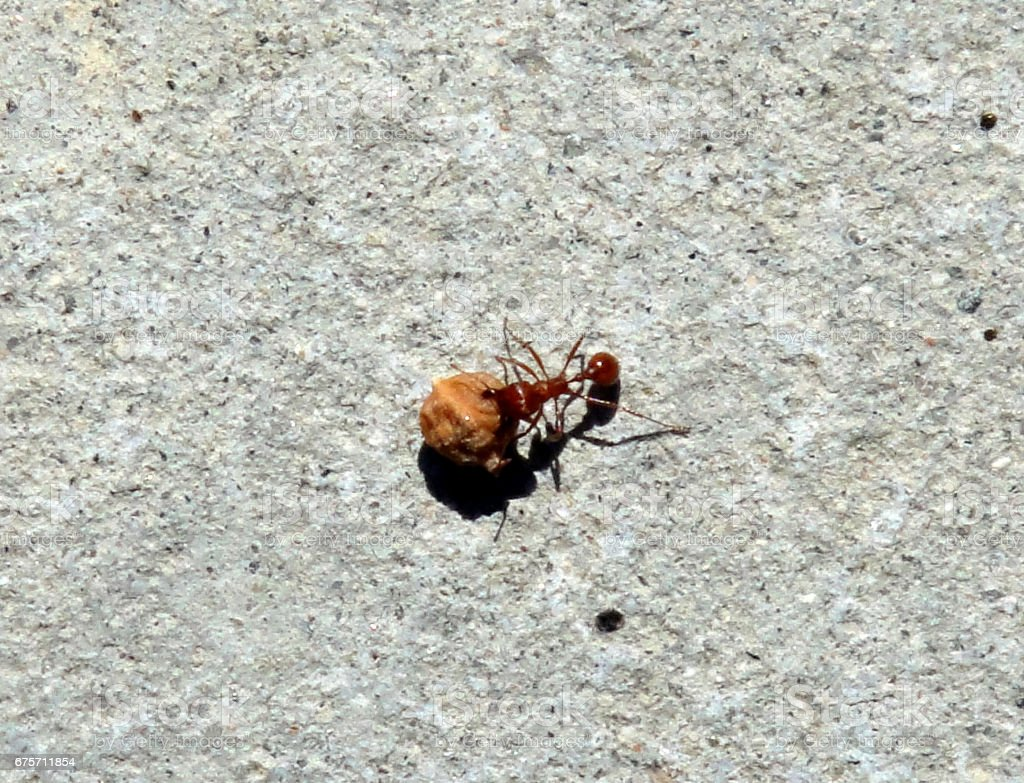 A Fire Ant in Action stock photo