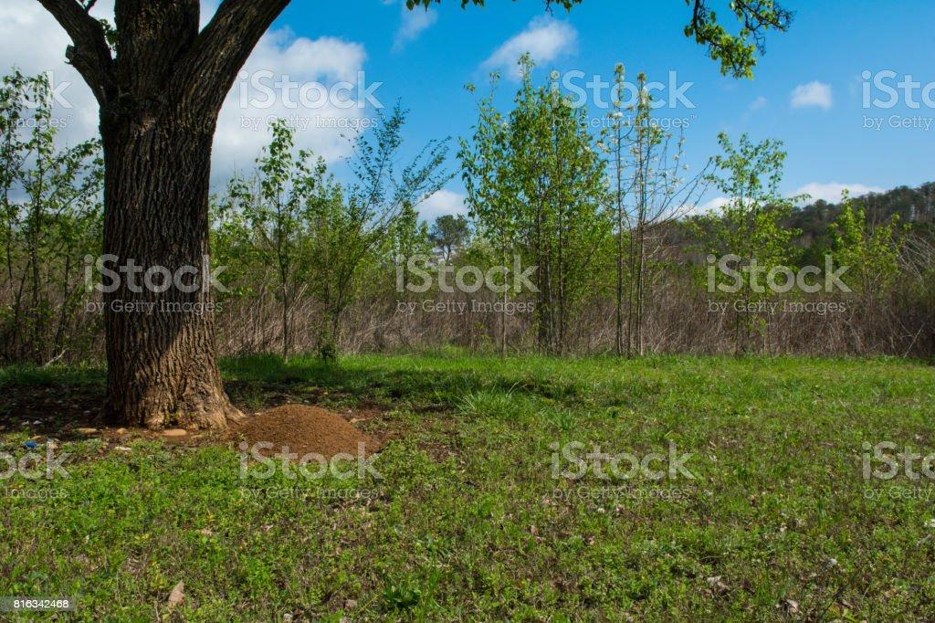 Fire Ant Mound stock photo