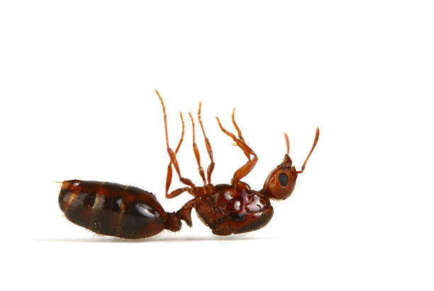 Fire Ant Dead Fire Ant Focus on head of the insect. dead stock pictures, royalty-free photos & images