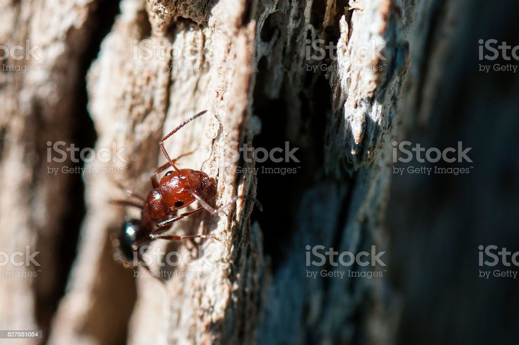 Fire ant stock photo