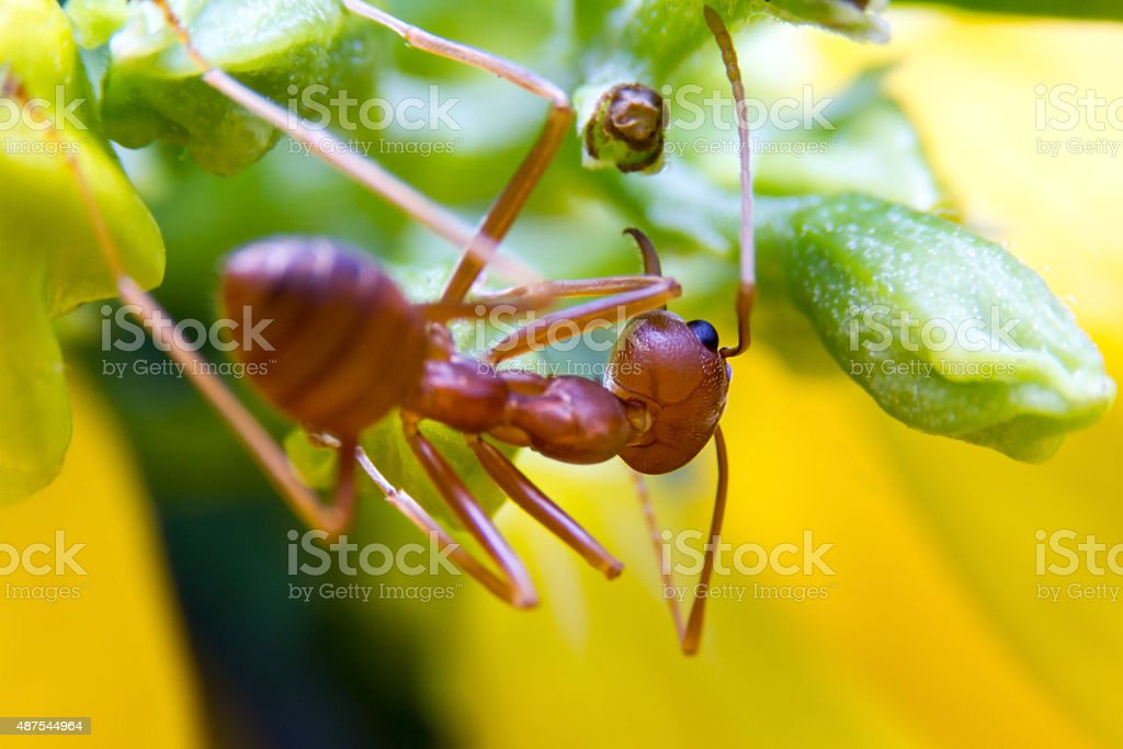 Fire Ant worker on yellow background. close up stock photo