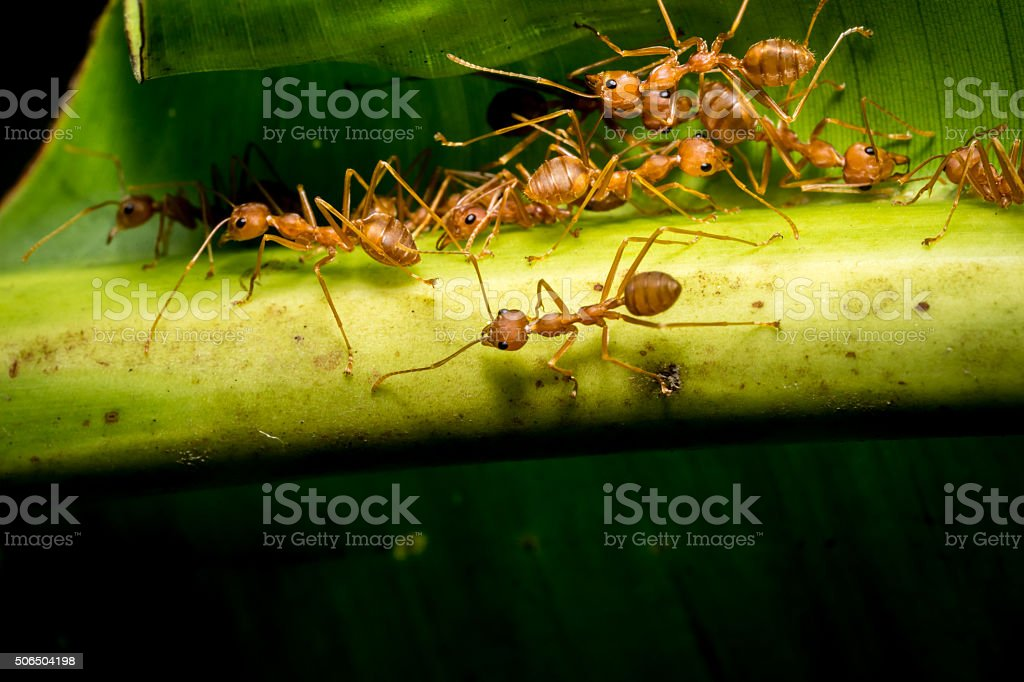 fire ants meeting on banana leaf stock photo