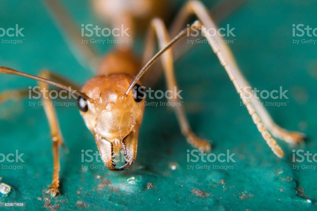 Fire Ants stock photo